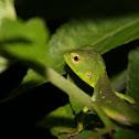 Pethiyagoda's Crestless Lizard Juvenile