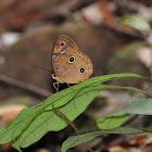 Sulawesi Faun