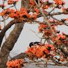 rosy starling
