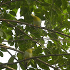 Yellow legged Green-Pigeon/Harial