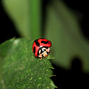 Six-spotted Zigzag Ladybird