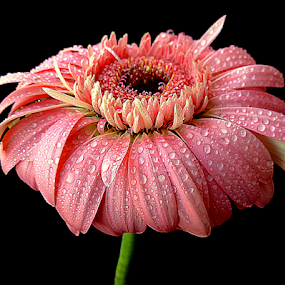 Dewy gerbera by Biljana Nikolic - Flowers Single Flower ( gift, petals, purity, beautiful, nice, waterdrops, gerbera, present, nature, dewy gerbera, freshness, pink, wet, flower )