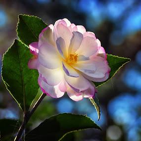 Winter Rose by James Gramm - Flowers Single Flower ( winter, camellia, blue, white, bokeh, flower )