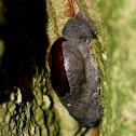 Rathnadvipia Snail