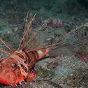 Sculpin Scorpionfish