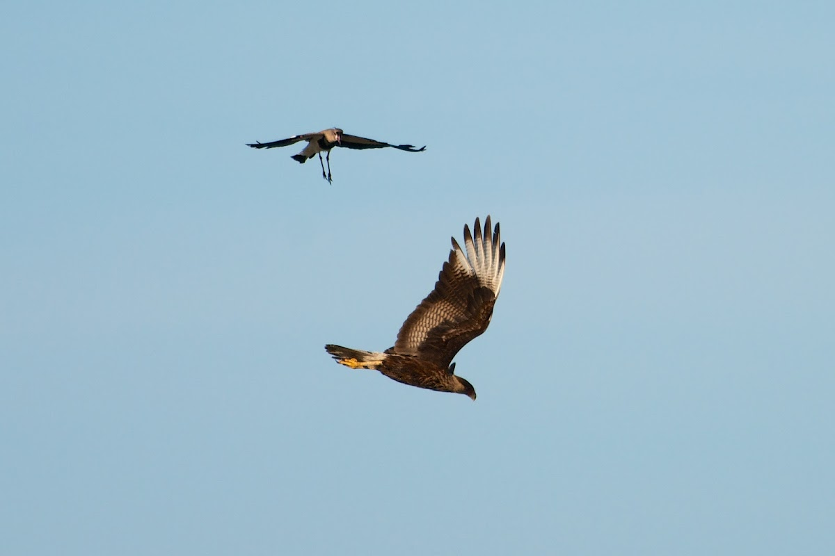 Southern Lapwings scaring off a Southern Crested Caracara