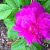 Rose Shrub: Pink