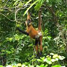 Geoffrey's Spider Monkey (female with newborn)