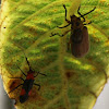 Red-spotted Mirid Bug vs Figleaf Beetle