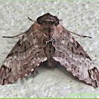 Gray Hawk Moth, Privet Hawk Moth