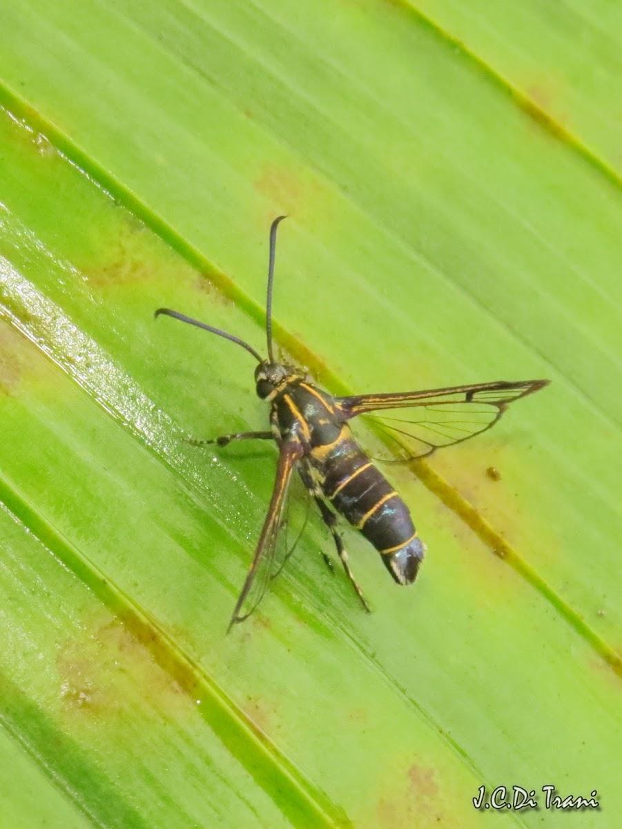 Yellow Jacket Wasp moth