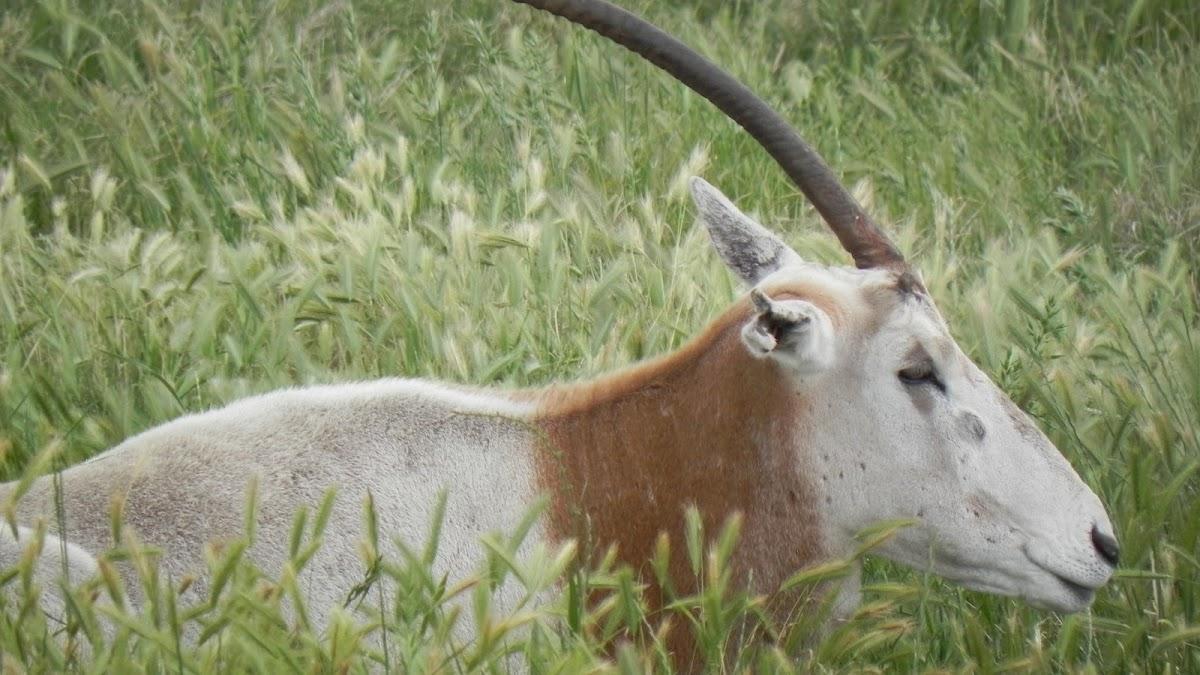 Scimitar Oryx Antelope