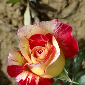 Afghanistan  by Benito Flores Jr - Flowers Single Flower (  )
