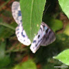 Blue day moth