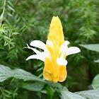 黃蝦花 Pachystachys lutea