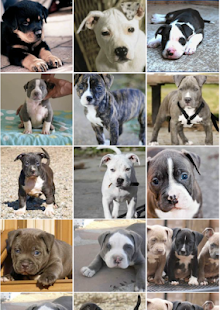 Puppy Pitbull Wallpapers Screenshot Thumbnail