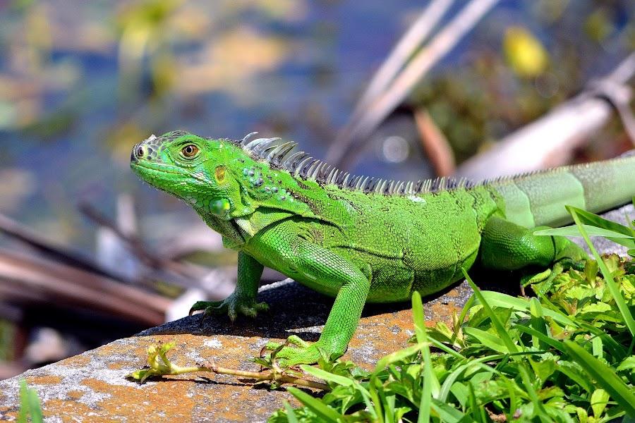 Green Iguana by Milton Moreno - Animals Reptiles ( reptiles, animals, lizard, green, iguana, reptile, green iguana )