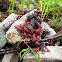 Box Elder Bug (eastern)