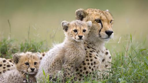 African Cheetah wallpaper