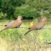 Laughing Dove / Little Brown Dove