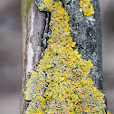 common orange lichen, yellow scale, maritime sunburst lichen or shore lichen