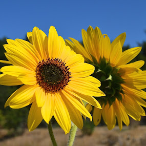 Twins by Ed Hanson - Flowers Flowers in the Wild ( wild, nature, yellow, flowers, close-up )