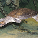 Giant Amazon River Turtle