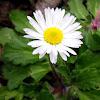 Common daisy, tratinčica
