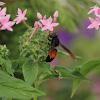 Lesser Banded Hornet