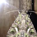Orache Moth