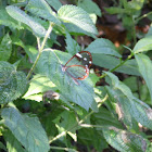 White-spotted Clearwing