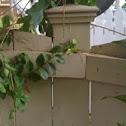 Green anolis lizard