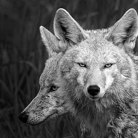 Vigilant by Gary Davenport - Black & White Animals ( coyote, wild, two, free, b&w, nature, pair, coyotes )