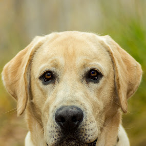here I am by Giovanni De Bellis - Animals - Dogs Portraits ( gastone, , #GARYFONGPETS, #SHOWUSYOURPETS )