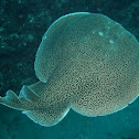 Electric Sting Ray