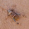Arizona Stink Bug