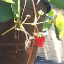 Strawberry Plant 🍓