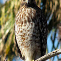 Red Shouldered Hawk (juvenile)