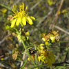 California Matchweed