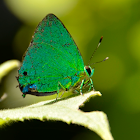 Janias greenstreak