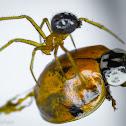 Spider hunting Ladybug