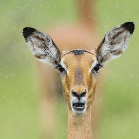 Impala in the rain by Rian Van Schalkwyk - Animals Other Mammals ( impala, antilope, rain )