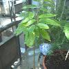 Ylang Ylang Perfume Tree