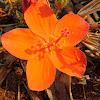 Dwarf Red Hibiscus
