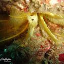 Myzostomida Marine Worm