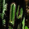 cactus.....