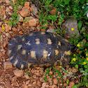 Marginated tortoise (Κρασπεδωτή χελώνα)