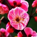 3D plum blossom logo