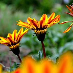 by Vijayendra Venkatesh - Flowers Flowers in the Wild ( wild flower, nature, beauty, flowers,  )