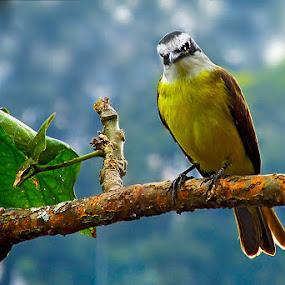 by Brianna Oliva - Animals Birds ( brazilian bird, brid, birds )